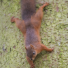 2014-10-26 - Red Squirrel - Attack from Above!