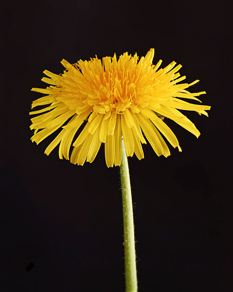 Dandelion Focus Stacked with CZM