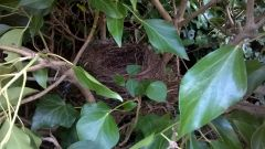 "Nest in the ""hedge"""