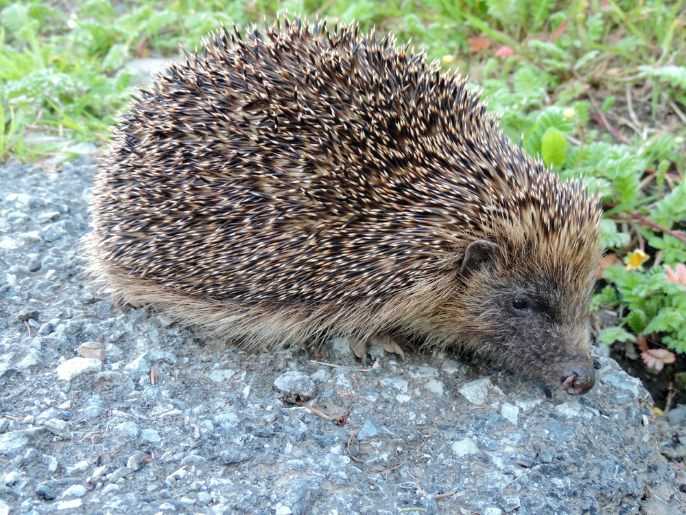 Hedgehog (2).JPG